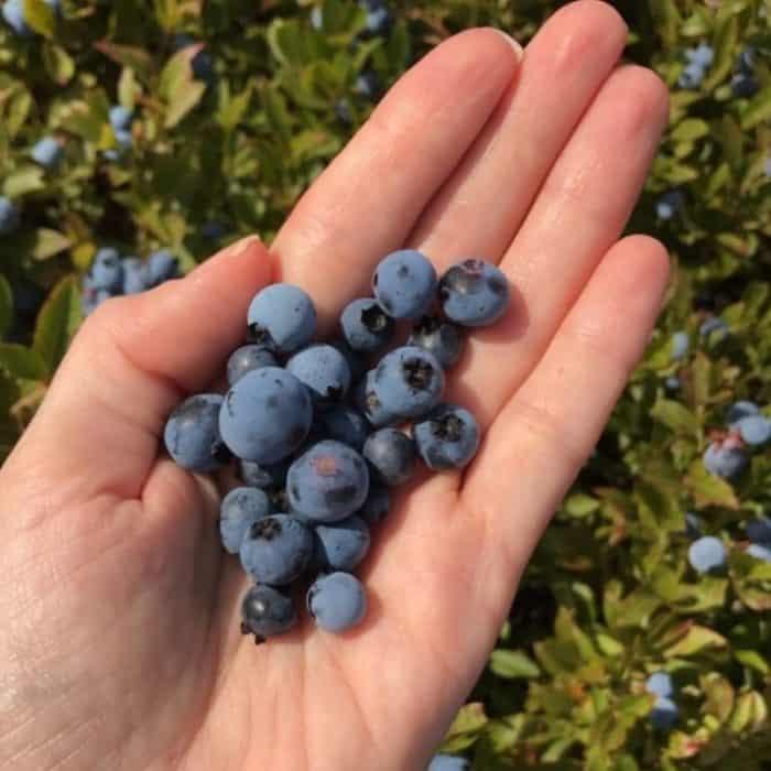 hand holding fresh wild blueberries in a wild blueberry barren in Maine
